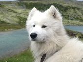 picture of seeing eye dog  - White dog siting and watching in mountain - JPG