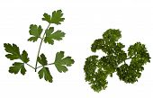 Two types of parsley