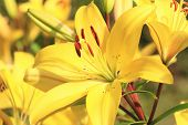 stock photo of lily  - Easter Lily - JPG