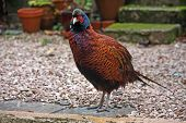 image of pheasant  - pheasant standing on a gravel garden path - JPG