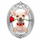 image of dog-rose  - valentines chihuahua dog holding a red rose with mouth in a wood frame isolated on white background - JPG