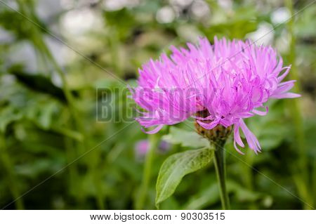 Pink Aster Flower In Countryside Garden With A Blurred Background.