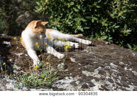 Red And White Cat Sleeping On The Stone Near Flowers