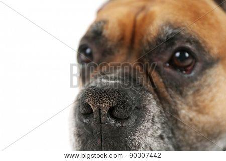 Boxer dog isolated on white background