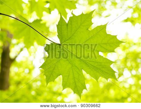 Green leave of maple on green blured background