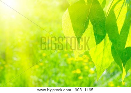 Summer background with poplar leaves and sun