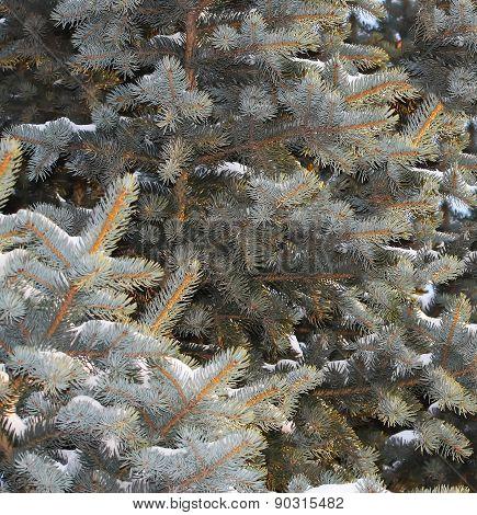 Silver Fir (Abies alba)
