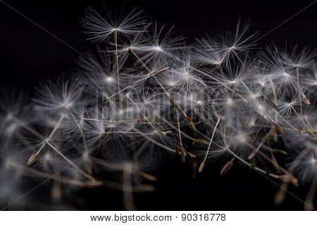 Dandelion seeds.