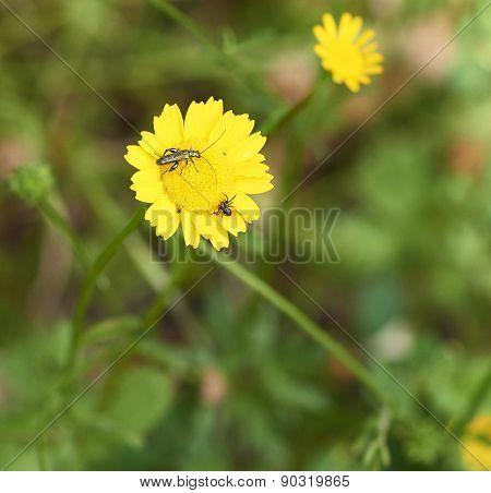 Flower Of Dandelion