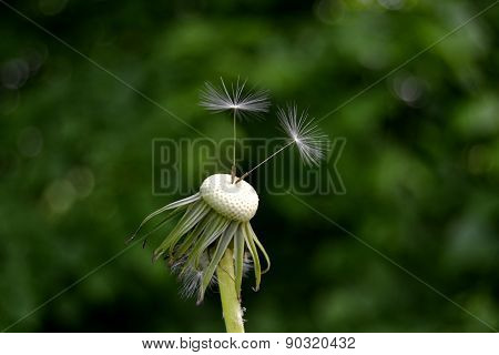 withered dandelion