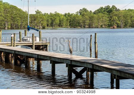 Great Blue Heron On Dock
