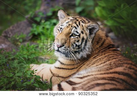 adorable amur tiger cub close up portrait