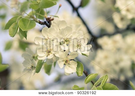 Warm Color Toned Image Of Blooming Fruit Tree