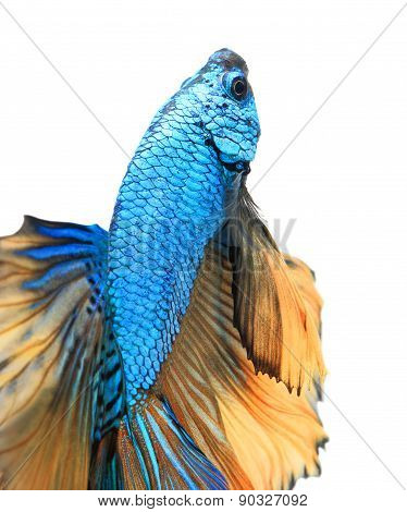 Close-up detail of Siamese fighting fish.
