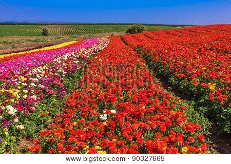 Elegant multi-color rural fields with flowers. Buttercups grow bright colored stripes- red, pink, yellow and purple