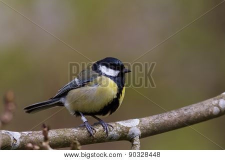 Great Tit (Parus major) sitting on a branch