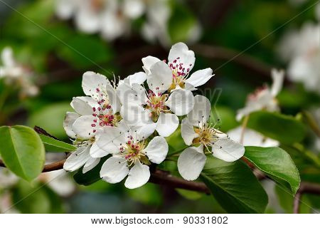Spring. Pear Blossoms