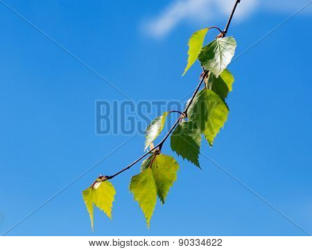 A Sprig Of Birch