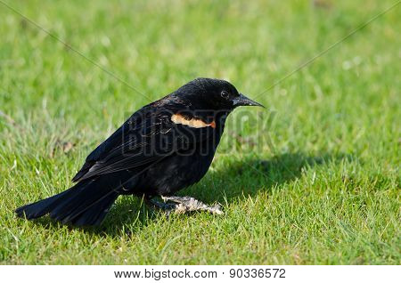 Red-winged Blackbird Resting On The Green Grass