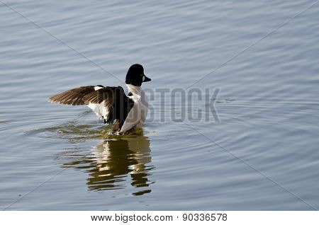 Common Goldeneye On The Lake With Outstretched Wings