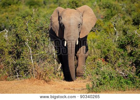 Large African elephant (Loxodonta africana), Addo Elephant National park, South Africa