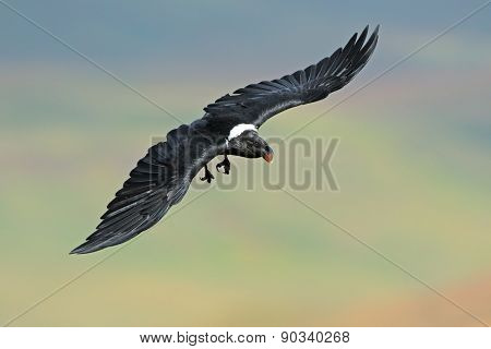 A white-necked raven (Corvus albicollis) in flight, South Africa