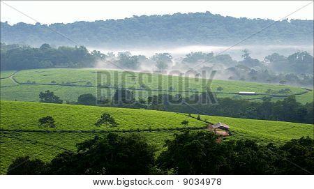 Bwindi Tea Plantations. 3