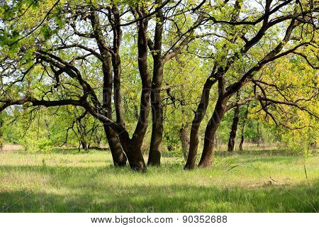 oak tree in spring forest