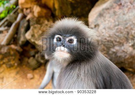 Dusky leaf monkey face close up