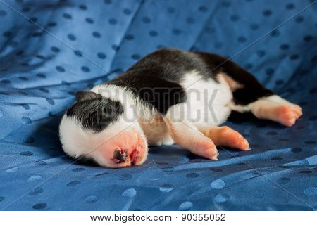Newborn Border Collie