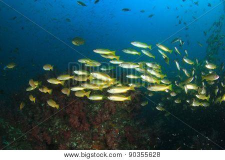 School yellow Bigeye Snapper fish on coral reef underwater
