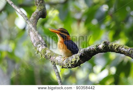 Rufous-collared Kingfisher Actenoides Concretus