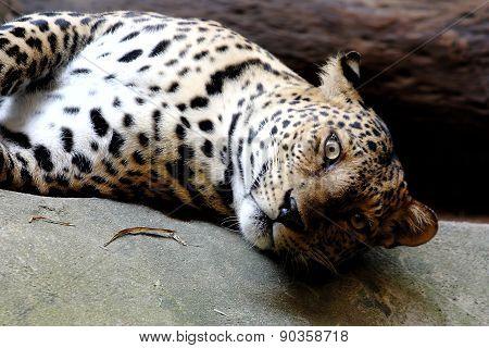 Leopard Panther Panthera Pardus