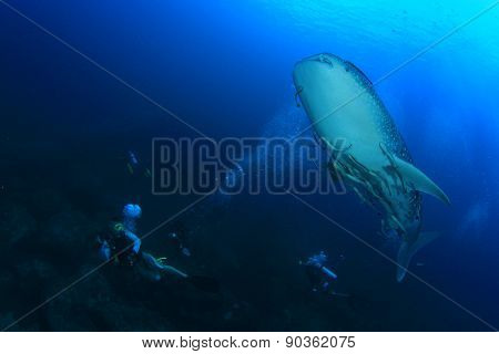 Whaleshark scuba divers