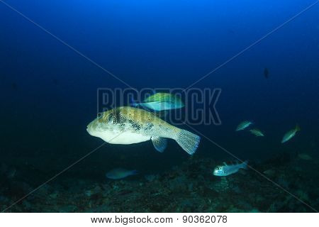 Blue-spotted Puffer fish