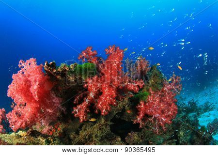 Colourful red soft corals on underwater reef