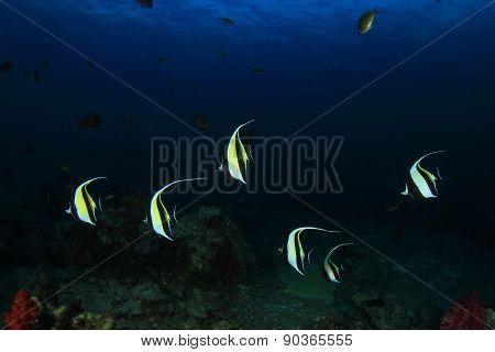 Moorish Idol fish on coral reef in sea