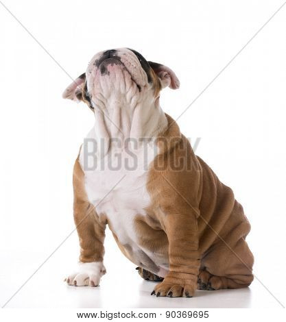 cute puppy - bulldog sitting looking up - three months old