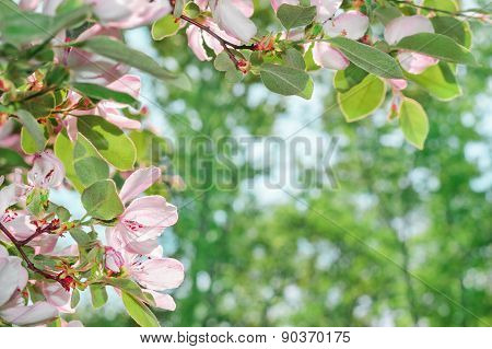 Beautiful Blossom Quince Flower