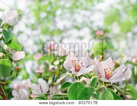 Beautiful Blossom Quince Flower With Background