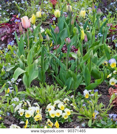 Spring flower bed with pansies and tulips