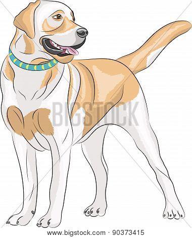 Vector Labrador.