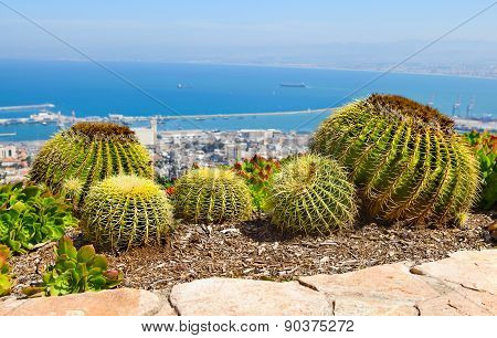Large Cactuses
