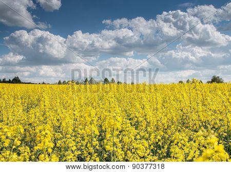 rapeseed_canola field