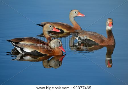 Black Bellied Whistling Ducks Our For a Swim
