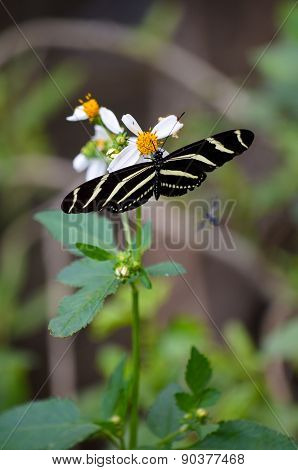 Zebra Longwing Butterfly Feeding