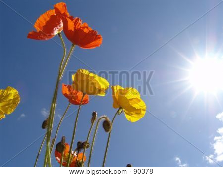 Poppy In The Sun