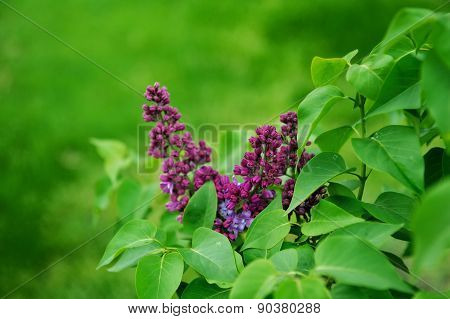 Spring Branch Of Lilac Purple