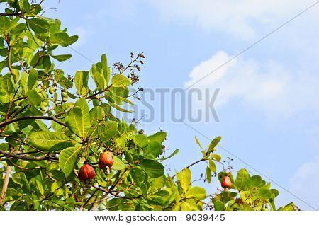 Cashew Nut Tree