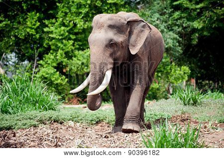 Asian Elephant In The Lush Green Grass.